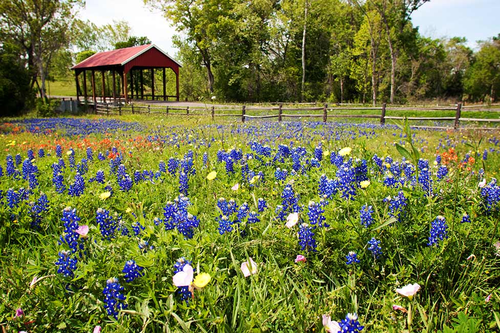 Bluebonnet Field