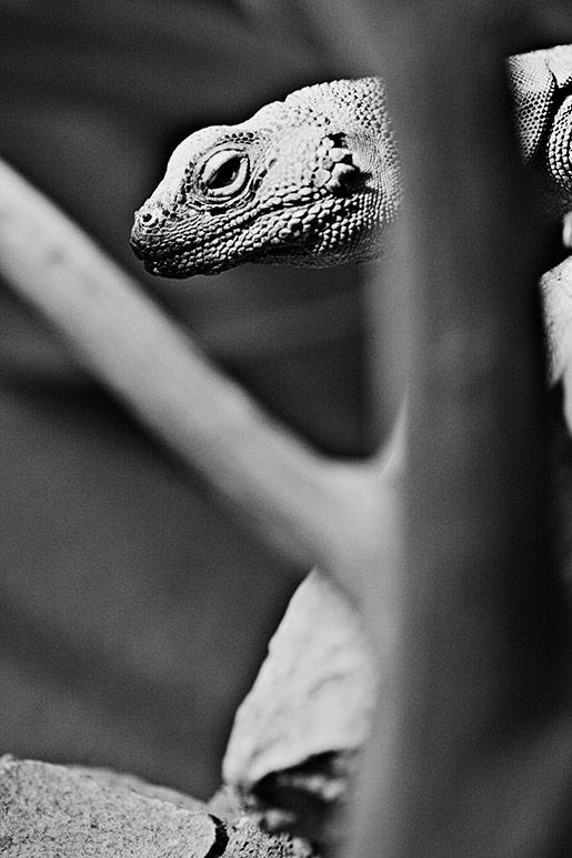n_lizard