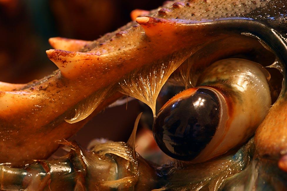 n_lobster