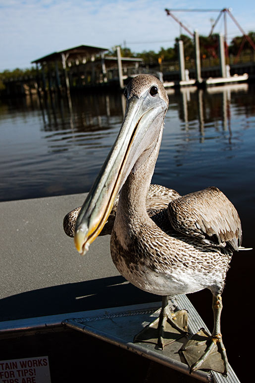 n_pelican