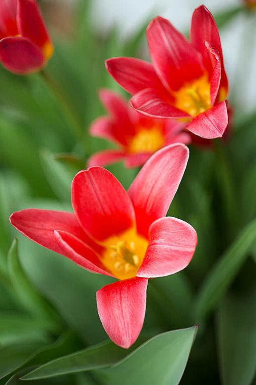 p_tulip