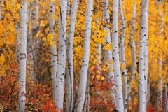 Colorado Aspens 01