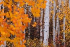 Colorado Aspens 02