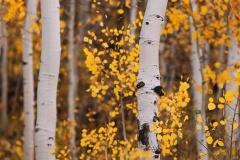 Colorado Aspens 03
