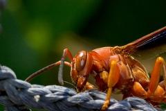 n_wasp