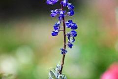 p_bluflower