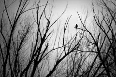 Shadowy Hawk